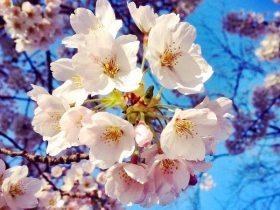 Kirschblüte Hamburg