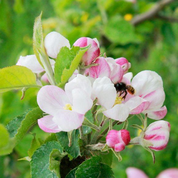 Apfelblüte Altes Land