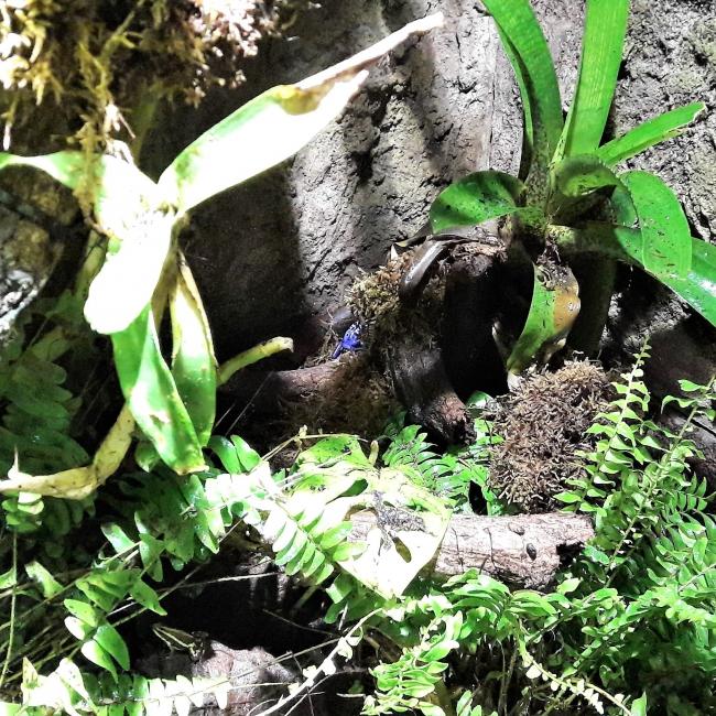 Azurblauer Pfeilgiftfrosch Tropenaquarium Hagenbeck
